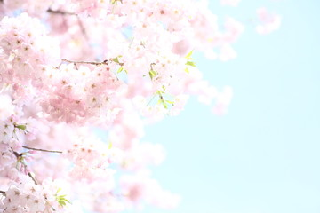 青い空に映えるピンクの桜