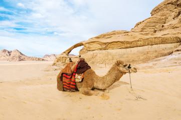 Image of lying camel in desert Wadi Rum, Jordan.