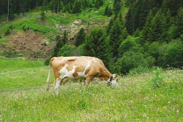 Kuh beim weiden auf der Alm 3