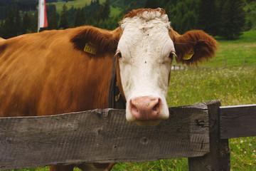 Kuh beim weiden auf der Alm 2