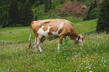 Kuh beim weiden auf der Alm 1