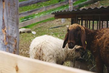 Schafe im Almstall