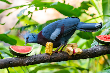 Victoria Crowned Pigeon feeding on watermelon on a feeding perch