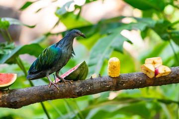 Nicobar Pigeon perching  on a feeding perch in a zoo