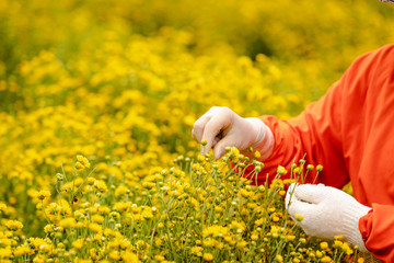 farmer are collecting chrysanthemums flowers
