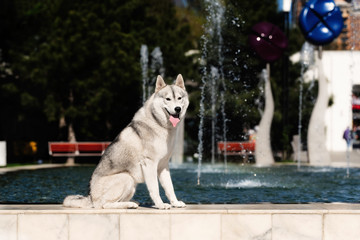 A young Siberian husky male dog is sitting on marble floor near a huge big pool with blue water with fountain and looks forward. A dog has grey and white fur and brown eyes. He looks happy.