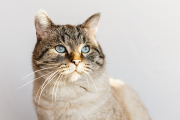 Adult cat of cream brown color with small stripes and blue eyes looking thoughtfully to the side. Closeup portrait on gray background with warm natural light