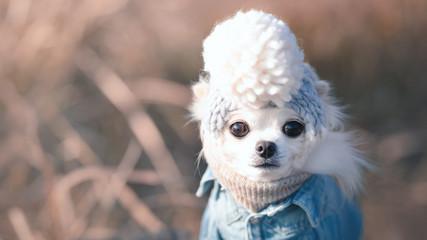 ニット帽をかぶるチワワ