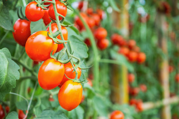 Fresh ripe red tomatoes plant growth in organic greenhouse garden ready to harvest Wall mural