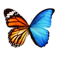beautiful blue and orange butterfly isolated on white background