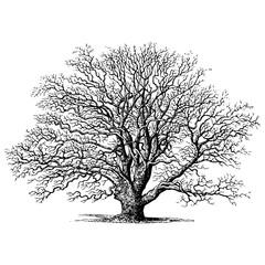 Oak Tree Vintage Illustrations