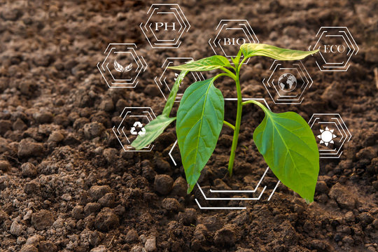 Smart farming with IoT, futuristic agriculture concept, cultivating ecological agricultural peppers using innovative technologies