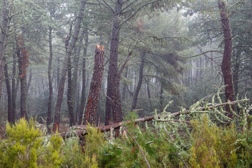 Bosque de pino negral en invierno con niebla y árbol caído. Pinus pinaster.