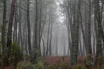 Bosque de pino negral en invierno con niebla de fondo. Pinus pinaster.