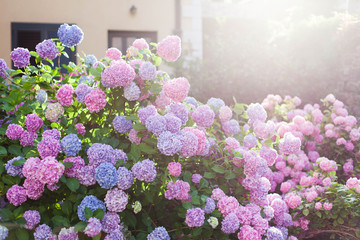 Fotomurales - Hydrangea garden by house at sunset. Bushes is pink, blue, lilac, purple. Flowers are blooming in countryside and town streets in spring and summer outdoor.