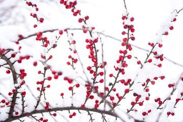 winter berries under snow