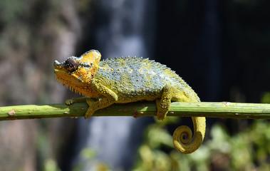 Fotorollo Chamaleon Chamäleon in Kenia