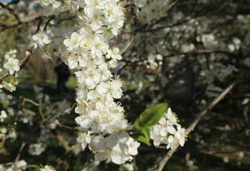 алыча цветет белыми цветами