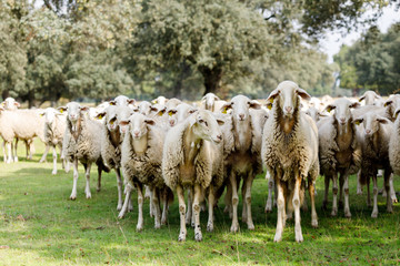 Flock of sheep grazing