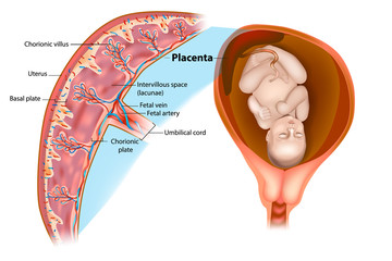 Placental structure and circulation.