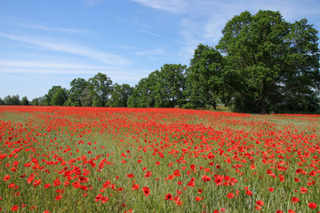 Field Of Poppies and cornflowers In Summer Countryside, Germany