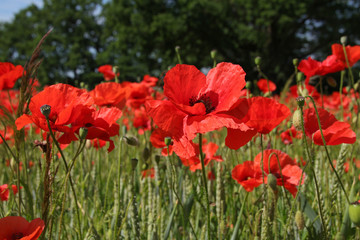 Field Of Poppies In Summer Countryside, Germany