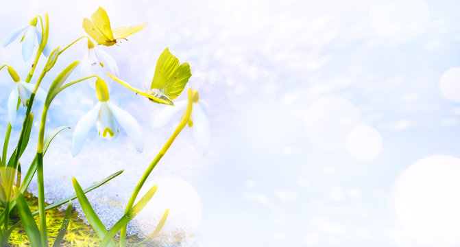 Art Spring floral background. Snowdrops flowers and butterfly