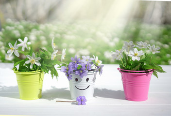 Wall Mural - Spring fresh flowers of anemone in color vases in buckets with smale on a white wooden table against background of spring forest on nature outdoors in sunny day with copy space. Concept of spring.