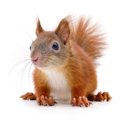 Eurasian red squirrel.