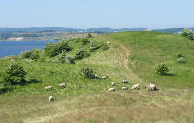 Schafherde bei Gross Zicker, dem Mönchgut der Insel Rügen an der Ostsee