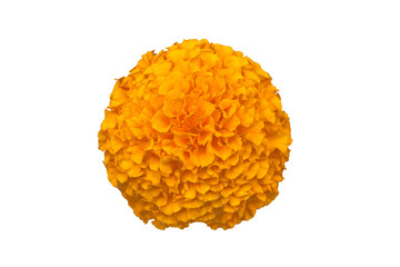 Tagetes Marigolds cut out on white background
