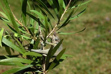 Chamäleon aus Tansania