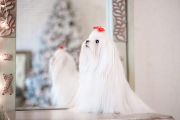 Glamorous white Maltese in a stylish interior.