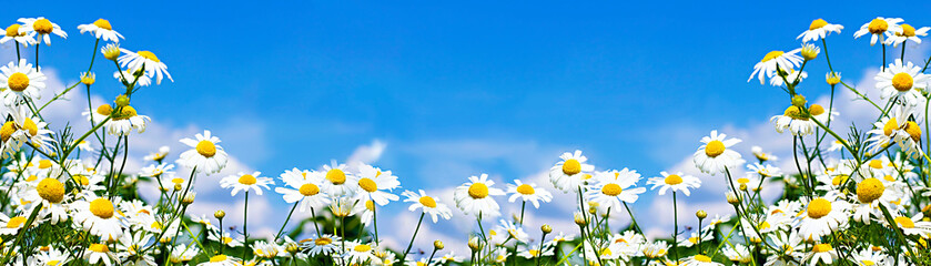 white daisies in the sky