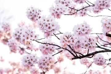 Close up Sakura pink branch on isolated white back ground,spring season in Japan.