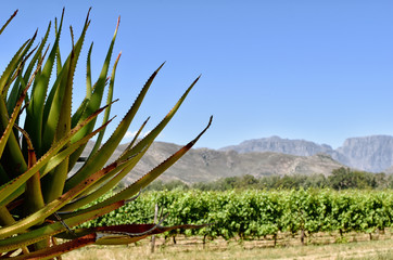 Cape Winelands - Vinyards and mountains -Allee Bleue