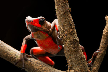 Red bullseye harlequin poison dart frog, oophaga histrionica. A poisonous animal from the tropical jungle of Colombia