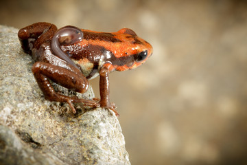 poison dart frog with tadpole on back, Andonobates bombetes