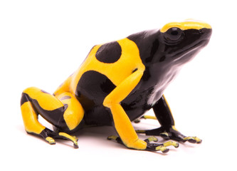 Yellow black bumblebee poison dart frog, Dendrobates leucomelas. A poisonous rain forest animal with warning colors isolated on a white background.