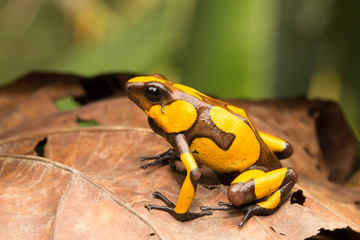yellow and brown harlequin poison dart frog, this small dartfrog is an animal from the rain forest of COlombia