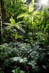 Tropical tree fern in Colombian Amazon rain forest