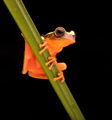 Leaf or tree frog, Dendropsophus leucophyllatus. Treefrog with vibrant red color from the Amazon rain forest in Brazil, Peru, Ecuador and Bolivia..