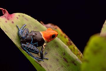 red headed poison arrow frog ranitomeya fantastica