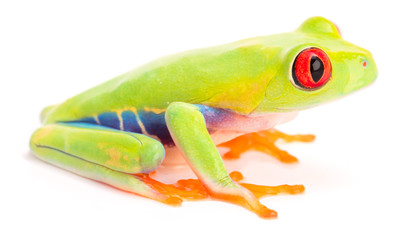 Red eyed tree frog, juvinile, Agalychnis callidrias from the tropical rain forest of Costa Rica isolatd on a white background