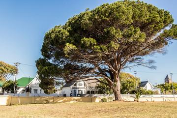 Großer afrikanischer Baum in Kapstadt, Südafrika