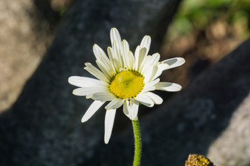 Close up of a daisy flower on a dark background, California