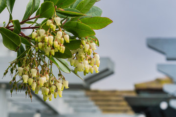 Strawberry tree (Arbutus unedo) flowers, California