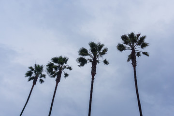 Four palm trees on an overcast sky background, California