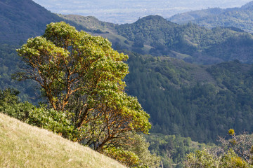 Madrone tree (Arbutus menziesii) on the hills of Sonoma County, Sugarloaf Ridge State Park, California Fototapete