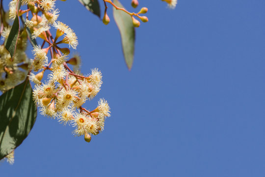 Young Soap mallee (Eucalyptus diversifolia) flowers on a blue sky background, California